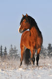 Bay horse in winter stock photography