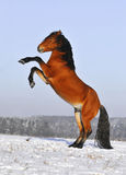 Bay horse in winter. Free bay horse in winter Stock Photos