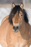 Bay horse in winter. Pregnant bay horse in winter Royalty Free Stock Images