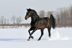 Bay horse in winter. Bay horse runs gallop in winter on the meadow Stock Photo