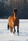 Bay horse in winter Stock Image