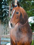 Bay horse on winter's paddock. Bay akhal-teke horse portrait on winter's paddock ranch Stock Photos