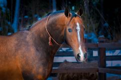 Bay horse on winter's paddock royalty free stock photography