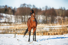Bay horse in winter Stock Photo