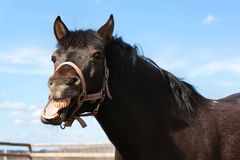 Bay horse yawning. Outdoor portret Stock Image