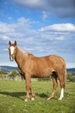 Bay horse, 9 years old, outdoors Stock Photo