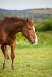 Bay horse, 6 years old Stock Photos