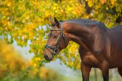 Bay horses in bridle. Against yellow autumn trees stock photo