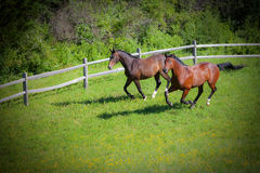 Bay Horses cantering down hill Royalty Free Stock Photo