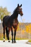 Bay horses exterior Stock Photos