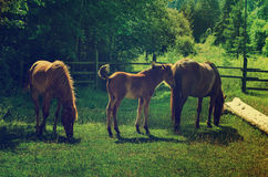 Bay horses grazes in the mountains Royalty Free Stock Image