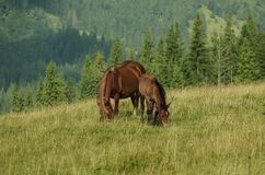 Bay horses grazes in the mountains Stock Image