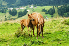 Bay horses grazes in the mountains Royalty Free Stock Images