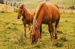 Bay horses grazes in the mountains Stock Photos