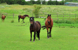 Bay Horses Grazing in Rural England Stock Images