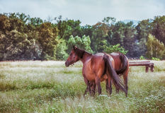 Bay horses in a meadow Stock Photo
