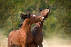 Bay horses play and bite. Outdoor royalty free stock images