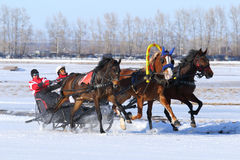 Bay horses rush on snow. BELOKURIKHA, RUSSIA - MARCH 12, 2016: The Russian three of horses during the holiday Farewell to winter Stock Images