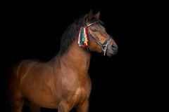Bay hutsul stallion Royalty Free Stock Images