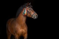Bay hutsul stallion Royalty Free Stock Photography