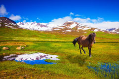 Bay Icelandic horses grazing in the meadow Royalty Free Stock Photo