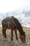 Bay Kyrgyz horse with saddle grazing in the mountains Royalty Free Stock Images