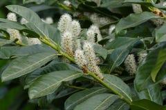 Bay larel shrub. Nice spring bay larel shrub royalty free stock images