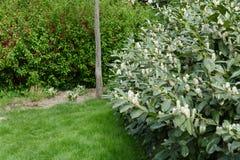 Bay larel shrub. Nice spring bay larel shrub stock images
