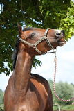 Bay latvian breed horse eating tree leaves Stock Photography