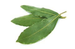 Bay laurel. Leaves isolated on a white background stock images