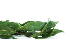 Bay laurel. Leaves isolated on a white background stock photo