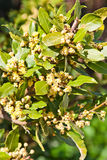 Bay Laurel. Branch of bay laurel in bloom in spring stock photos