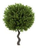 Bay laurel bush isolated Royalty Free Stock Photo