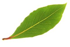 Bay Laurel (Laurus nobilis) Royalty Free Stock Photo
