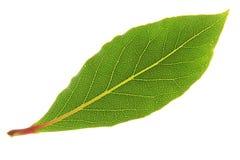 Bay Laurel (Laurus nobilis) Royalty Free Stock Images