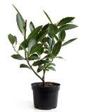 Bay Laurel (Laurus nobilis) in pot Royalty Free Stock Photos