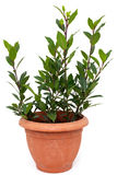 Bay laurel tree in flowerpot on white Royalty Free Stock Photography
