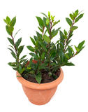 Bay laurel tree in flowerpot on white Stock Photos