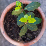 Bay laurel tree Royalty Free Stock Photo