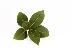 Bay Leaf. A sprig from a bay leaf plant on white background Stock Photos
