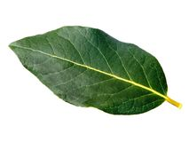 Bay Leaf. A single bay leaf on a white background Royalty Free Stock Photography