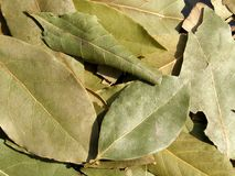 Bay leaf. Detail photo texture of bay leaf background Royalty Free Stock Photos