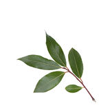 Bay leaf. Fresh isolated green bay leaf Stock Images