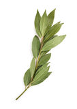 Bay leaf branch Stock Photography