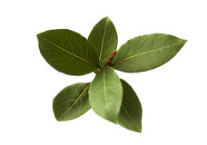 Bay leaf fresh herb isolated detail Royalty Free Stock Photography