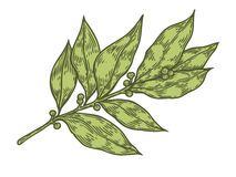 Bay leaf fresh herb plant vector hand drawn illustration on white background.  Stock Photos