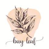 Bay leaf Hand drawn ink illustration Vector design for tags, cards, packaging, promo for restaurant menu. Design Stock Illustration