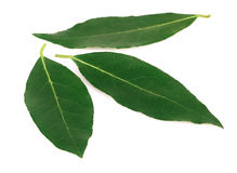 Bay leaf isolated on white. Stock Photos