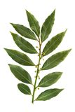 Bay leaf isolated on white background Stock Photo