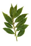 Bay leaf isolated on white background Royalty Free Stock Photos